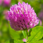 Red Clover pic - Rekick